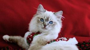 Illaria Rose – Ragdoll Kitten of the Month