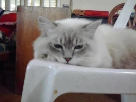 Rocky - Ragdoll Kitten of the Month