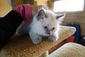 Baxter - Ragdoll Kitten of the Month