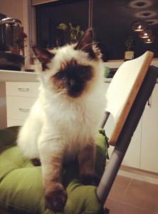 Hendrix - Ragdoll Kitten of the Month2