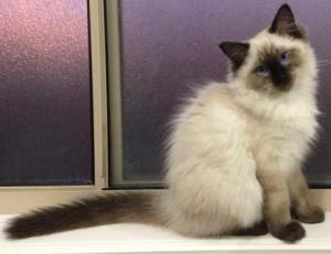 Hendrix - Ragdoll Kitten of the Month4