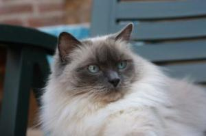 Chico - Ragdoll of the Week