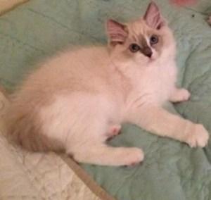 Roxi Blu - Ragdoll Kitten of the Month