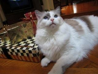 Ragdoll Cat Buddy