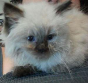 Mozart – Ragdoll Kitten of the Month