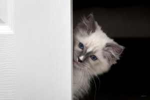 Milo - Ragdoll Kitten of the Month