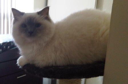 Lily - Ragdoll of the Week