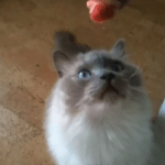 Frankenprey: How I Feed My Ragdoll Cat, Prossimo