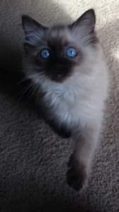 Sookie - Ragdoll Kitten of the Month6