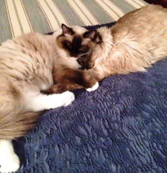 Philomena - Ragdoll of the Week and Claus