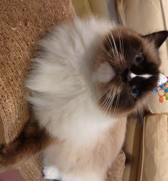 Ragdoll Cat Charlie 5th Birthday