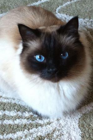 Mozart - Ragdoll of the Week5