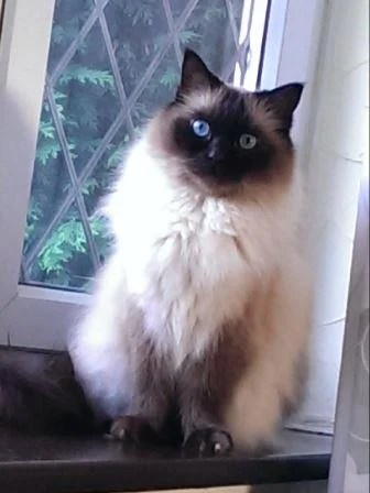 Mozart - Ragdoll of the Week3