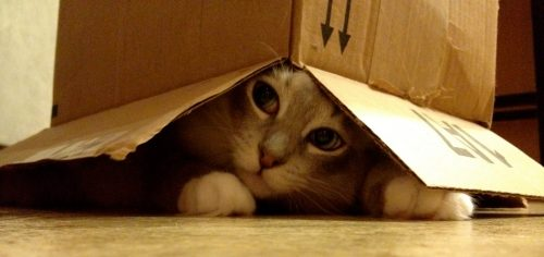 Ragdoll Kitten Napa in a box