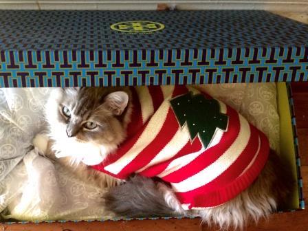 Ragdoll cat Zakk in the Box loved by Lisa