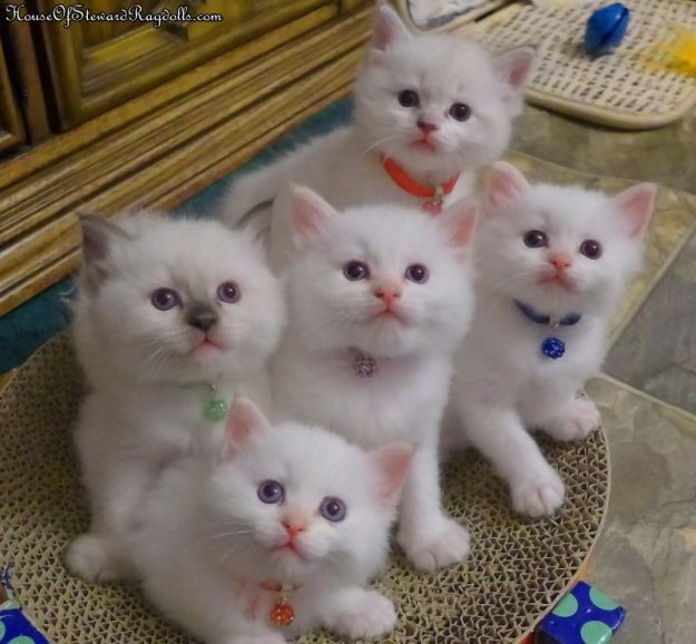 House of Steward Ragdolls Kittens on the Petstages Easy Scratch Snuggle Rest