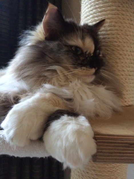 Ragdoll Cat Cartouche seal tortie sepia mitted with paws crossed