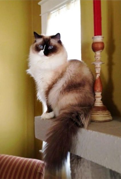 Rocky and Lucky - Ragdoll Cats of the Week