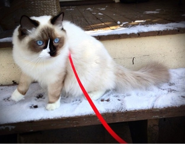 Rocky and Lucky - Ragdolls of the Week