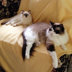 Lucky and Rocky - Ragdoll Cats of the Week