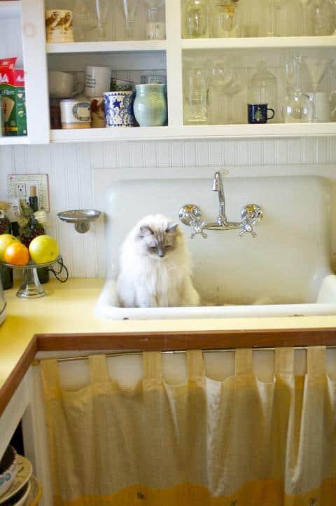 Ragdoll Cat in a Sink