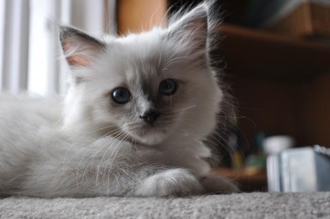 Photo of Ragdoll Kitten