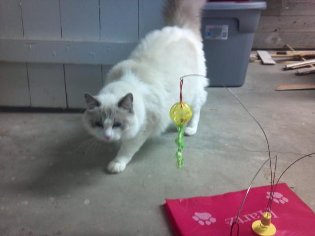 Ragdoll Rescue Iowa