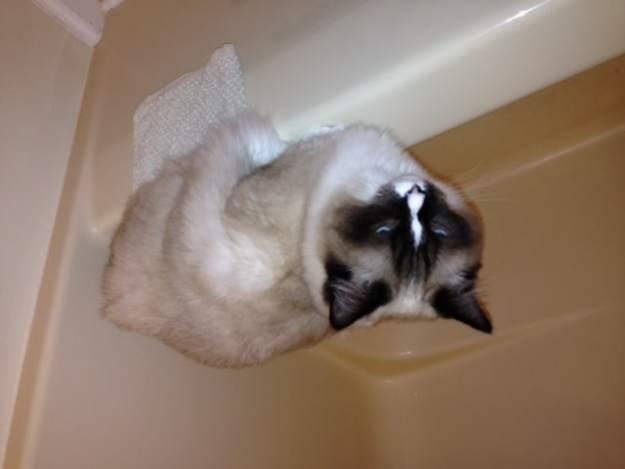 Ragdoll Cat Perry on Bathtub