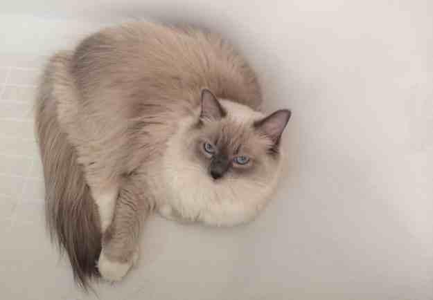 Ragdoll Cat in Bathtub