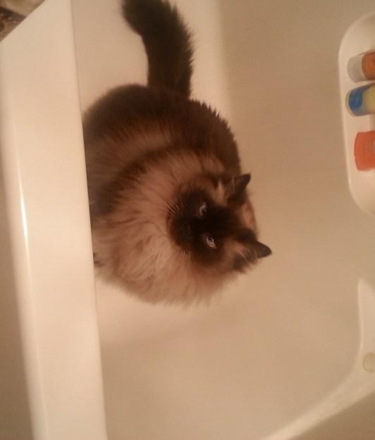 Ragdoll Cats in Bathtub
