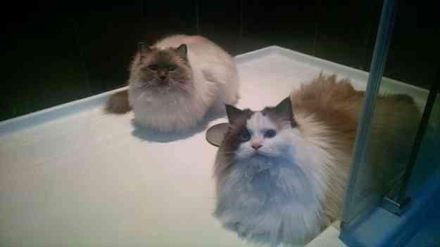 Ragdoll Cats in Shower