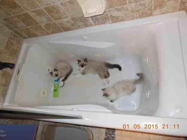 Ragdoll Kittens in a Bathtub