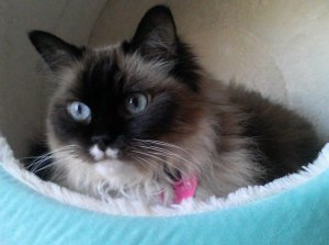Lilly - Ragdoll of the Week