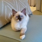 Zoe – Ragdoll Kitten of the Month