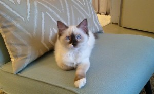 Zoe - Ragdoll Kitten of the Month 3