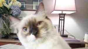 Zoe - Ragdoll Kitten of the Month