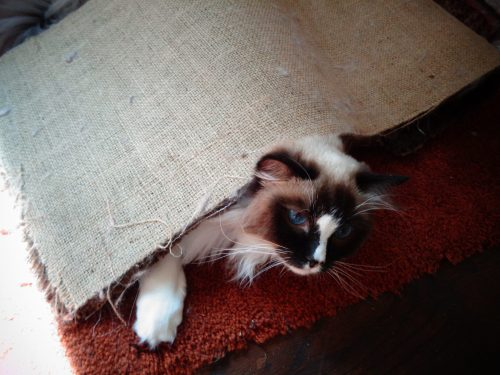 Gatsby crawls under and unwinds the carpet