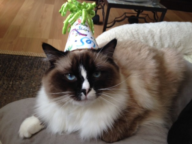 Happy Birthday Perry Perry Ragdoll of the Week  ROTW