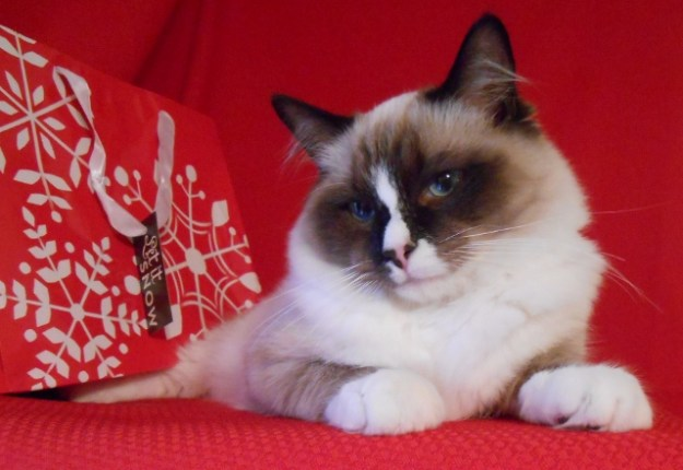 Perry Ragdoll of the Week  Best Perry Xmas 2014 (640x440) Merry Christmas Perry