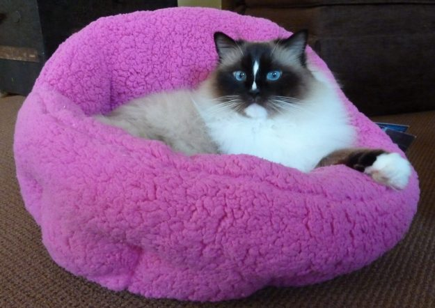 Charlie in Urban Paw Pet Bed Luna Ortho Cuddler in Sherpa Fuschia