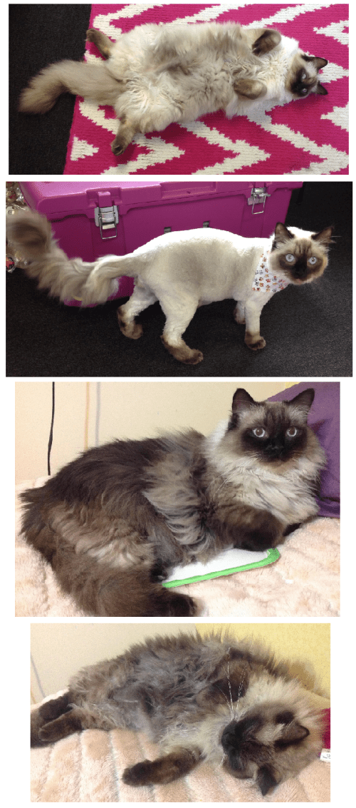 Ragdoll Cat Color Change After Shaving