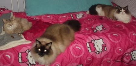 Ragdoll Cat Dies from Hair Tie Hair Ties in Cats Stomachs 2
