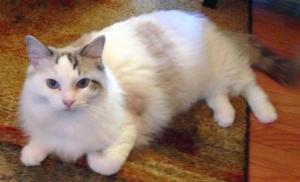 The Great Catsby - Ragdoll of the Week 4