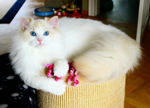 Flynn - Ragdoll of the Week flynn2