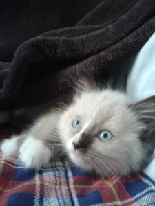 Lola - Ragdoll of the Week 2012-08-11 11.54.23