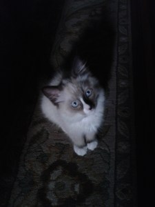 Lola - Ragdoll of the Week 2012-09-04 17.49.35
