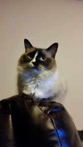 Lola - Ragdoll of the Week 20141010_213545