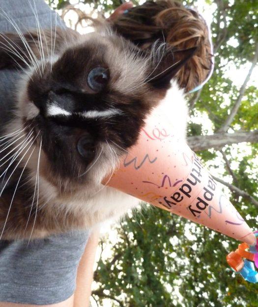 Ragdoll Cat Murphy Happy Birthday Photo 2015