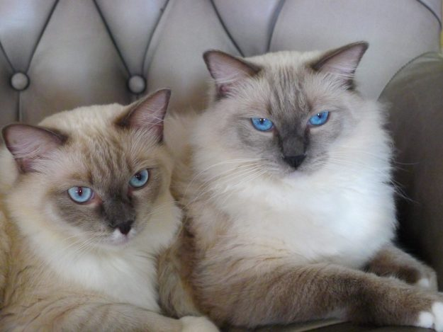 Titus and Tristan - Ragdolls of the Week