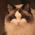 Gypsy – Ragdoll of the Week